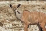 Greater Kudu - Tragelaphus strepsiceros