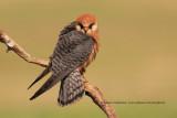 Red-footed falcon - Falco vespertinus