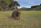 Marsupialia