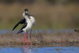 Black-winged stilt - Himantopus himantopus