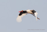Saddle-billed stork - Mycteria senegalensis