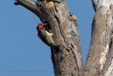 Black-collared barbet - Lybius torquatus