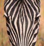 Plain Zebra - Equus quagga
