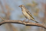 Black-throated canary - Crithagra atrogularis