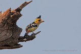 Crested barbet - Trachyphonus vaillantii