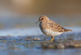 Temminck's stint - Calidris temminkii