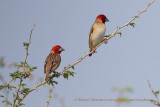 Red-headed Quelea - Quelea erythrops