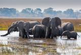 African Elephant - Loxodonta africana