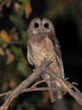 African Wood Owl - Stryx woodfordi