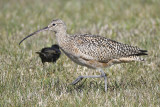 long-billed curlew BRD4889.JPG
