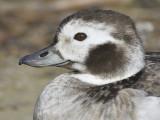 1091h_long_tailed_duck