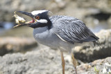1070j_yellow_crowned_night_heron