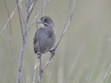 seaside sparrow BRD0002.JPG