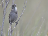 seaside sparrow BRD9999.JPG