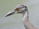yellow-crowned night heron BRD0123.JPG
