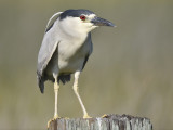 black-crowned night heron BRD0197.JPG