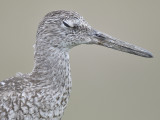 willet eastern BRD0380.JPG