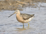 short-billed dowitcher BRD0510.JPG