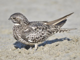 common nighthawk BRD0681.JPG