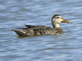 mottled duck BRD0696.JPG