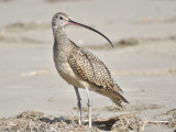 long-billed curlew BRD0700.JPG