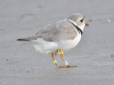 piping plover band BRD0777.JPG