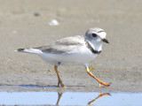 piping plover band BRD1155.JPG
