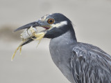yellow-crowned night heron BRD1379.JPG