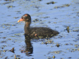 common moorhen BRD1496.JPG