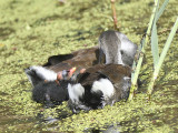 common moorhen BRD1529.JPG