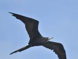 magnificent frigatebird BRD1684.JPG