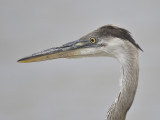great blue heron BRD1988.JPG