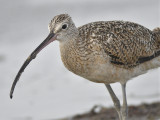 long-billed curlew BRD1762.JPG