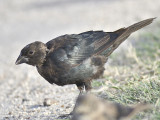 brown-headed cowbird BRD2575.JPG