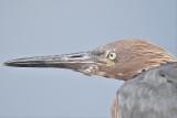 reddish egret BRD2741.JPG