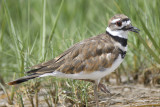 killdeer BRD3123.JPG