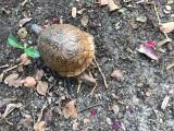 box turtle IMG 1088.JPG