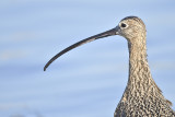 long-billed curlew BRD7298.JPG