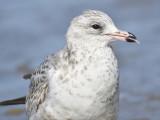 ring-billed gull BRD7418.JPG