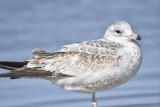 ring-billed gull BRD7428.JPG