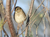 1670k_swamp_sparrow