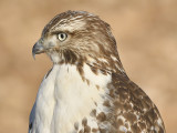1120p_red_tailed_hawk