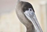 1050b_brown_pelican