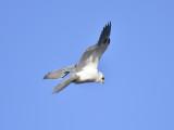 1110e_white_tailed_kite