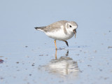 1170h_piping_plover