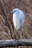 IMG_0430a Little Blue Heron.jpg