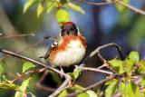 IMG_2107a Bay-breasted Warbler.jpg