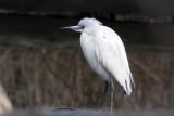 IMG_9068a Little Blue Heron.jpg