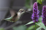 IMG_0290a Ruby-throated Hummingbird.jpg
