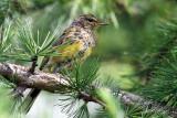 IMG_2924a Palm Warbler juvenile.jpg